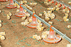 ลูกไก่กินจากจานอาหารแบบใหม่สำหรับการผลิตไก่เนื้อ