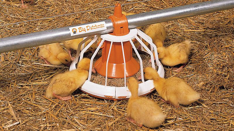 การเลี้ยงสัตว์ปีก: จานอาหาร Big Pan Plus สำหรับเป็ดเนื้อ