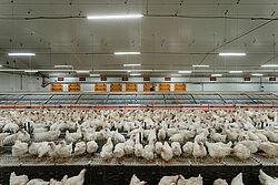 โรงเรือนพ่อแม่พันธุ์ที่มีรังวางไข่แบบกลุ่ม และไก่